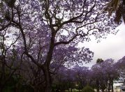 Jacarandas in Hyde Park